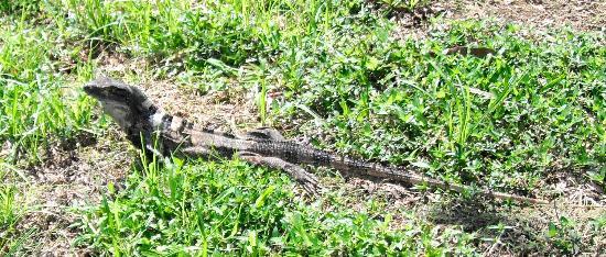 Hotel & Club Punta Leona: lots of  lizards underfoot