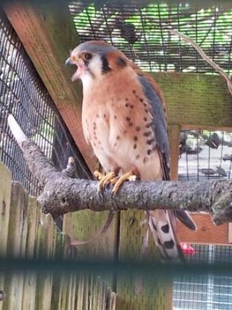 Eugene, OR: American Kestrel...this little raptor makes a ton of noise!!