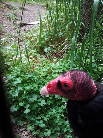 Eugene, OR: Turkey Vulture