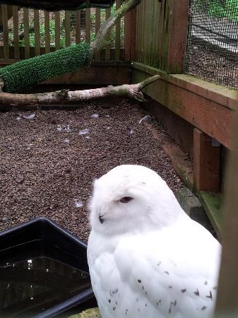 Eugene, OR: Snowy Owl.