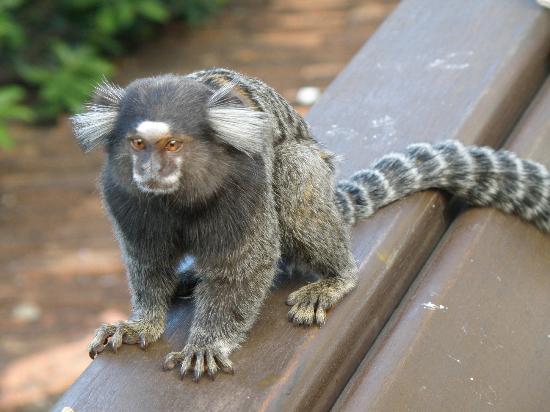 Altos de Santa Teresa: monkey on the terrace