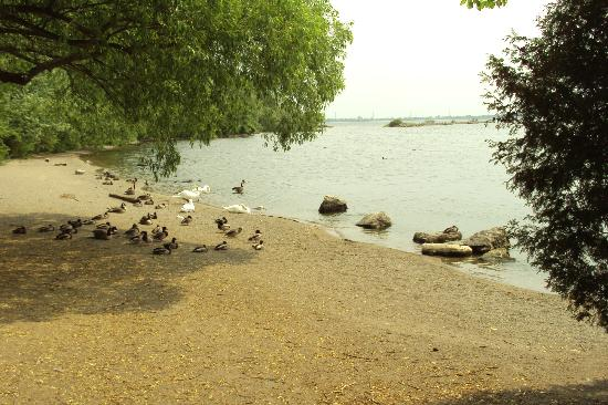 Burlington Waterfront Trail: Swans and Geese lazing at Lake Ontario's edge