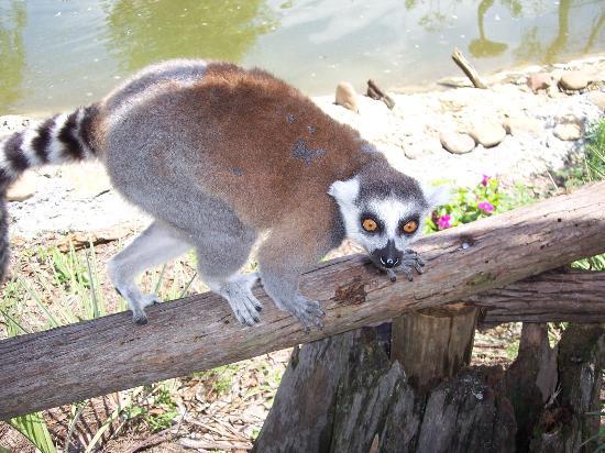 Safari Wilderness: lemur love