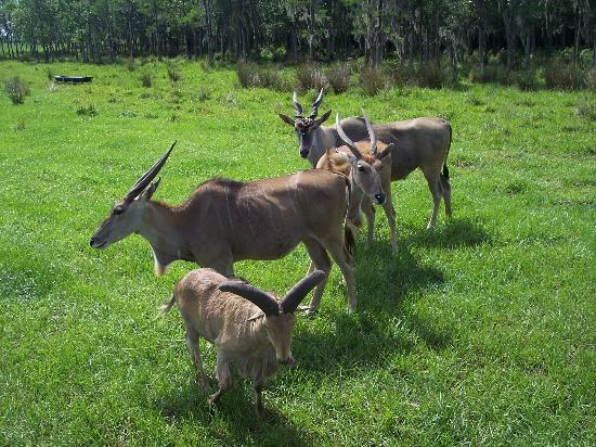 Lakeland, FL: grazing animals