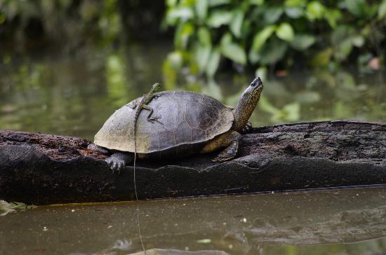 Mawamba Lodge: Leguaan op de rug van een schildpad