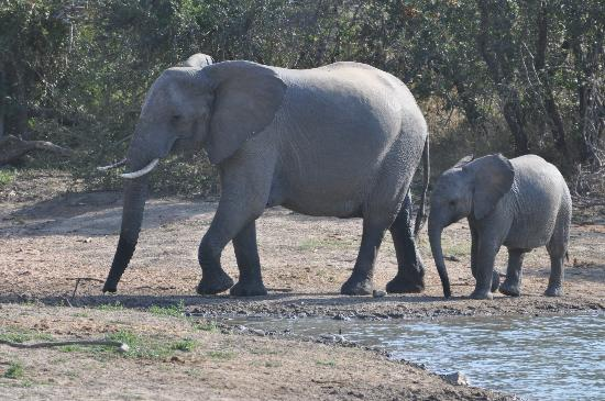 Gomo Gomo Game Lodge: elephants at the watering hole