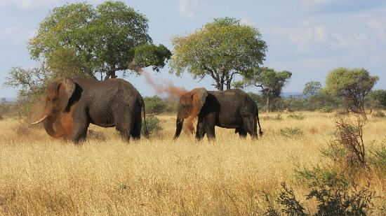 Satara Rest Camp: Elephants having a dust bath, viewed from the fence of the camp.