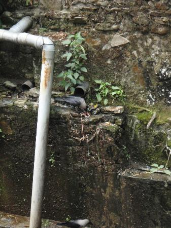 Dakshinkali Temple: Birds scavenging the offal from the above butchering area