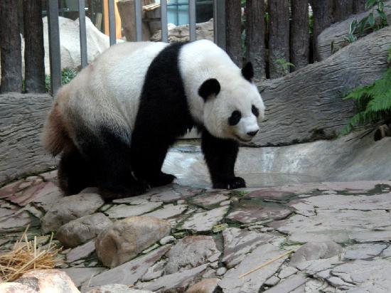 Chiang Mai Zoo: Panda at the CM Zoo