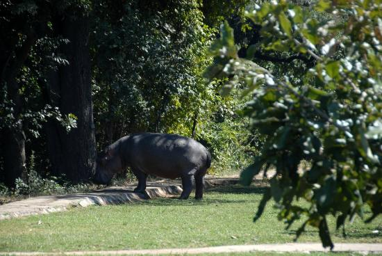 Mushroom Lodge: Hippo on the premises