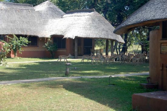 Mushroom Lodge: Impalas came to visit my bungalow