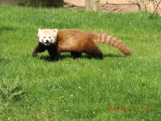ZooParc de Beauval : Panda roux