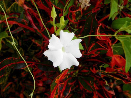 St. Peter Greathouse Estate & Gardens: moon flower?