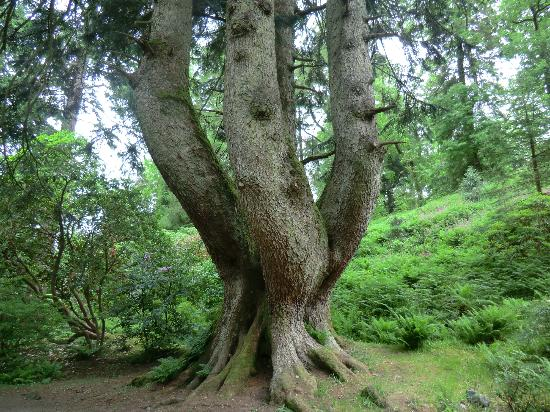 Ardkinglas Woodland Garden: The oldest tree planted in 1750