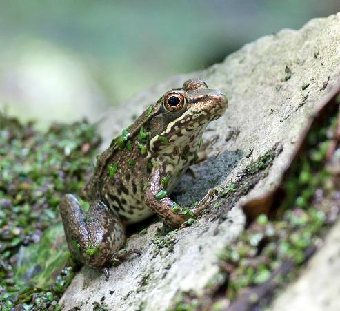 Ijams Nature Center: Green Frog