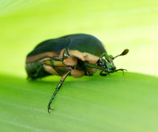 Knoxville, TN: June Bug