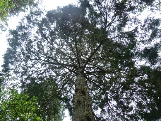 Ardkinglas Woodland Garden: Too high to see the top