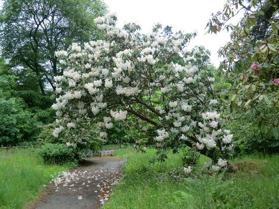 Ardkinglas Woodland Garden: Some of the beautiful rhoddies