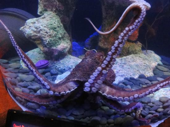 SEA LIFE Grapevine : Octopus
