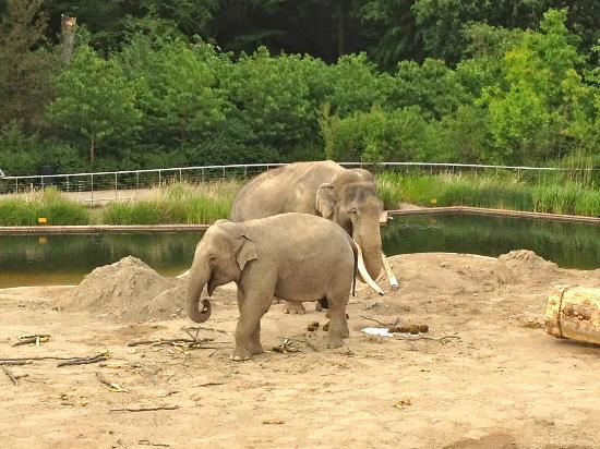 Copenhagen Zoo: Thai Elephant