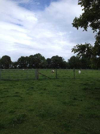 Sheep grazing beside the farmhouse at Leaveland Court Farm