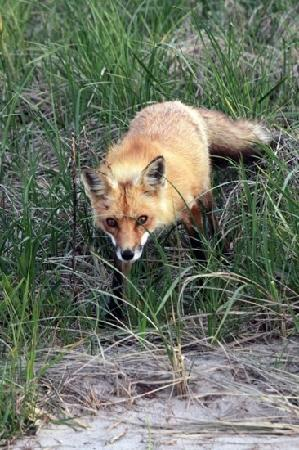 Robert Moses State Park: a fox at the park