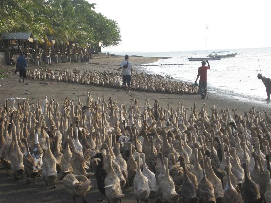 ดอลฟินบีชบาหลีวิลลา: Ducks on beach