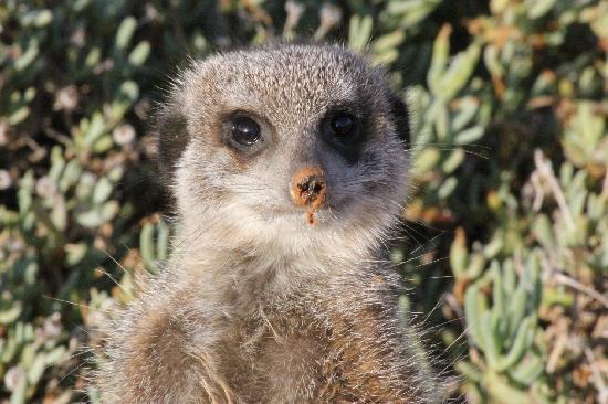 เดอซีโกเกสท์ฟาร์ม: Meerkat
