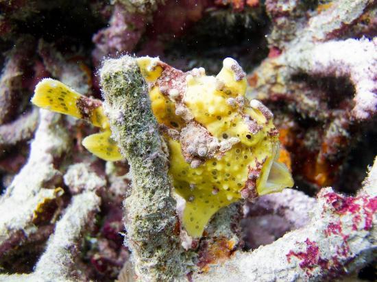 Wakatobi Dive Resort: Warty Frogfish.