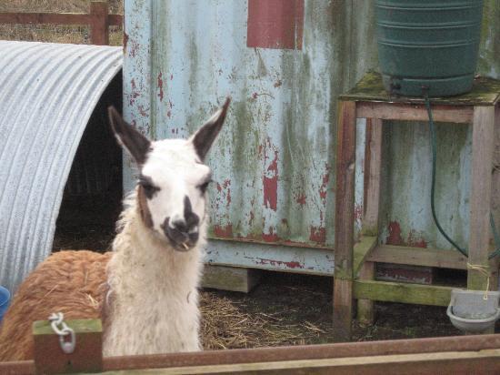 Thurleigh Farm Centre: The lamas