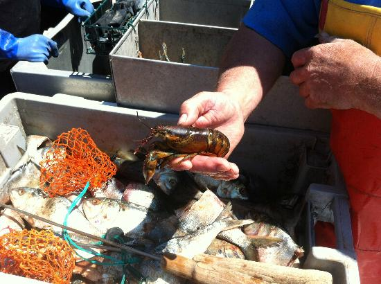 Lobster Boat Tour w/ Captain Clive Farrin : Young Lobster