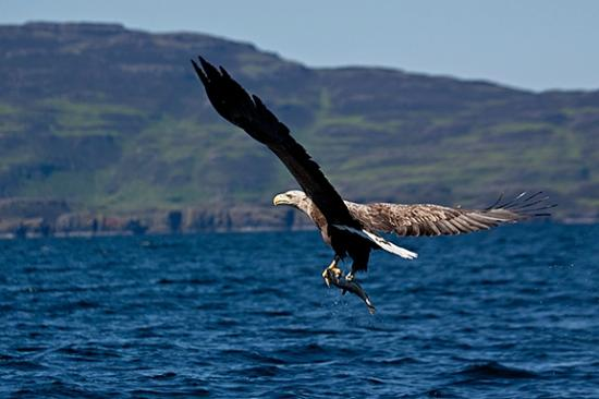 ‪‪Salen‬, UK: Sea eagle with fish in talons‬
