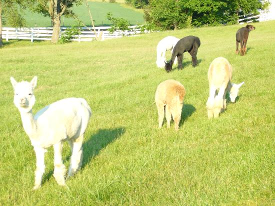 Charm Countryview Inn: Alpacas in front of the inn