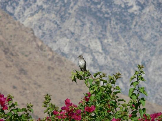 The Garden Vista Hotel Palm Springs: N. Mockingbird in Bougainvilla