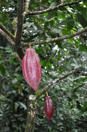 La Loma Jungle Lodge and Chocolate Farm: Cocoa growing on the tree