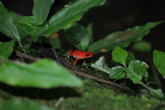 La Loma Jungle Lodge and Chocolate Farm: Red Frog!