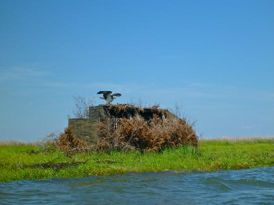 Tylerton, MD: Osprey