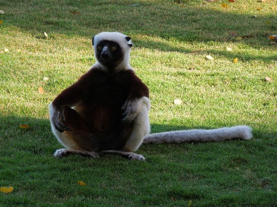 Anjajavy, Madagaskar: Sifaka ganz Nah beim Teatime