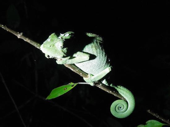 Anjajavy, Madagaskar: Chamäleon auf Nachtwanderung