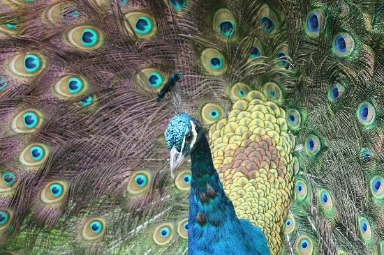Cedar Glen Farmstay : peacock