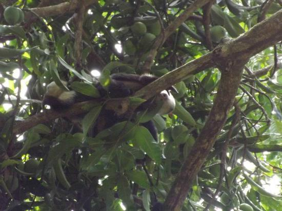 Campanario Biological Station: Tree wildlife in San Pedrillo - Corcovado National Park