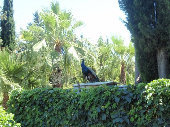 Grand Haber Hotel : påfugl , ved en flot naturpark som hører til hotellet