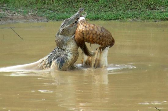 Tissamaharama, Σρι Λάνκα: Crocodile lifting pangolin - Yala Park