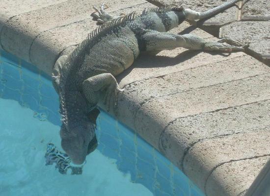 MVC Eagle Beach: De Iguana's wandelen gezellig rond