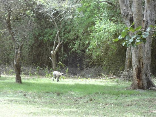 Jungle Hut: .Gray langur @ outside our room