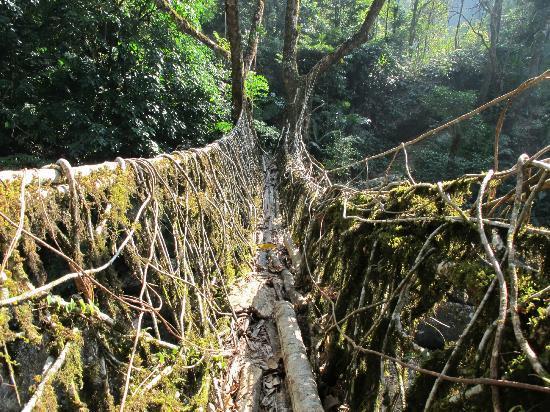 Roots Bridges: Longest root bridge
