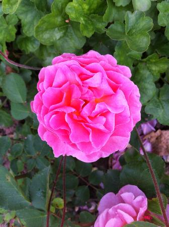 Europas Rosengarten: Es gibt auch Rosen
