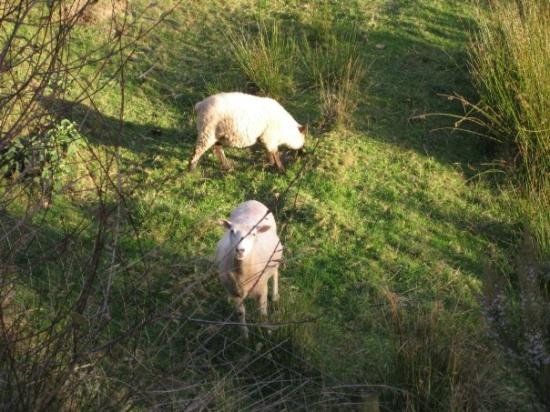 Woodlyn Park: Sheep!