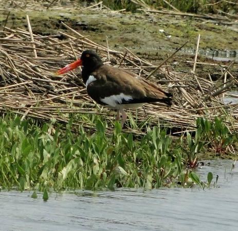 Birding By Boat on the Osprey: American Oyster Catcher
