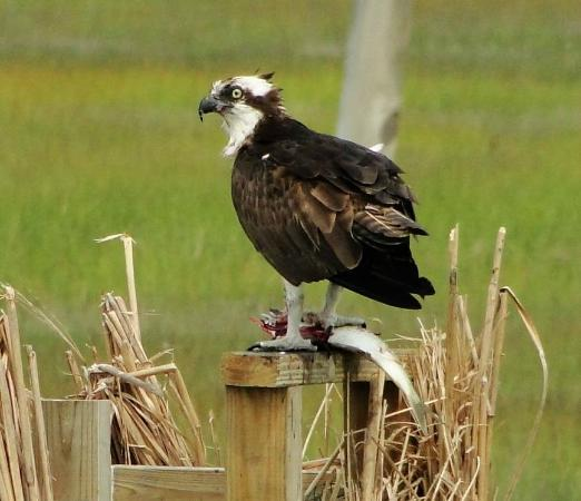 Birding By Boat on the Osprey: An Osprey With a Fish
